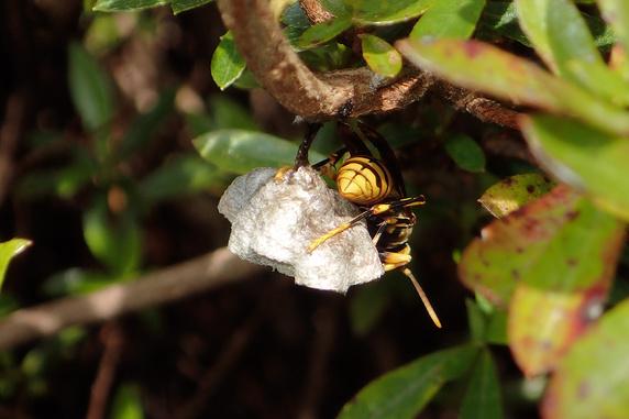キアシナガバチの巣作り