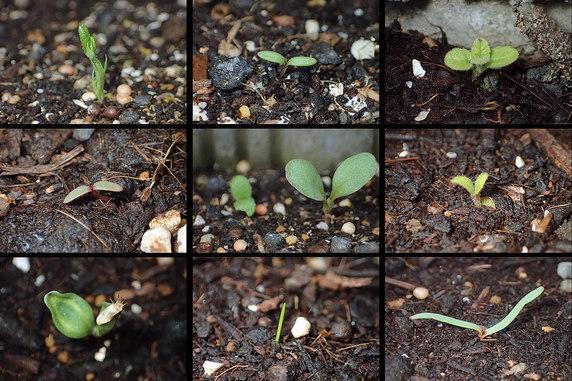 発芽が続くブルーフラワー花壇