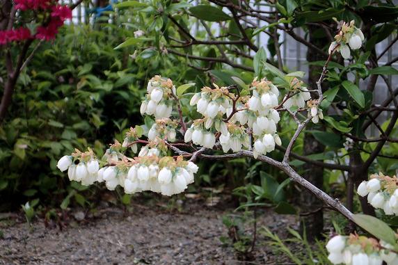 ブルーベリーも花が多い