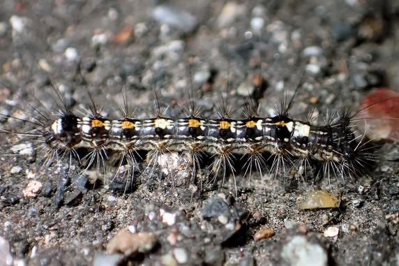 マイマイガの幼虫が多い