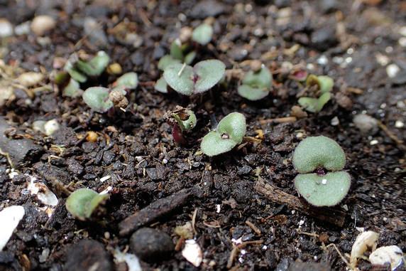 赤紫蘇とスナップエンドウが発芽と