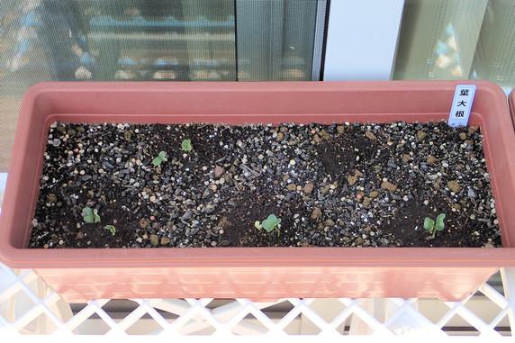 葉大根の発芽とネモフィラ