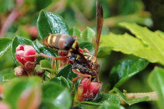 ベニシタンの蜜を舐めるコアシナガバチ