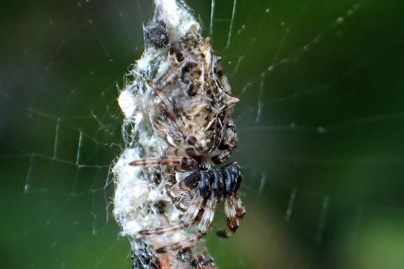 無害なゴミグモ