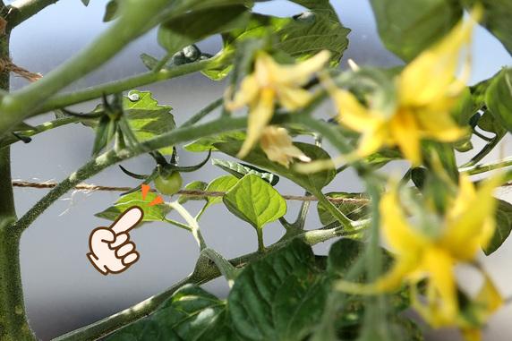 ミニトマトの第二花房も着果