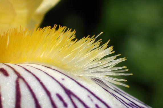 アヤメなどの花