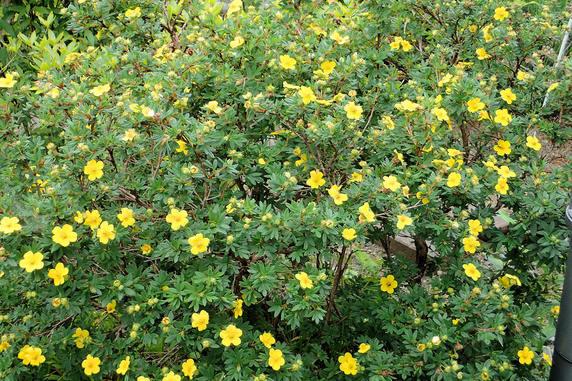 庭のキンロバイ