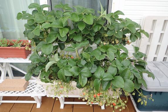 四季なりイチゴ大量収穫