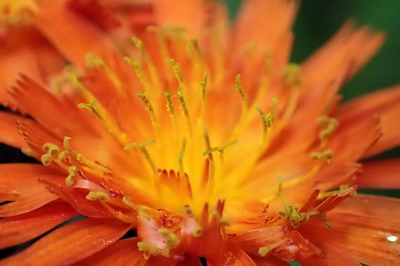 コウリンタンポポが開花