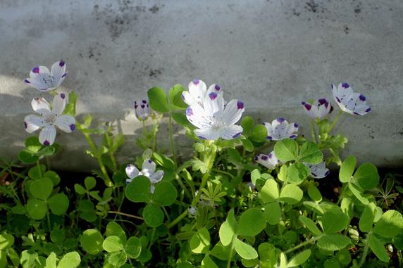 野原風花壇のネモフィラ