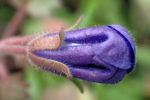 映える青のファセリア・カンパヌラリア