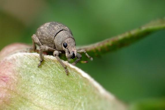 今年もアカスジチュウレンジの幼虫