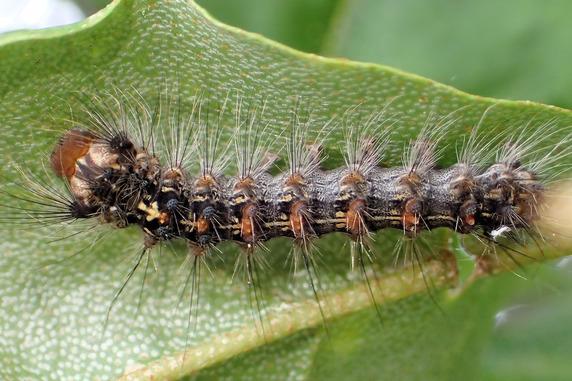 脱皮直前のマイマイガ4齢幼虫