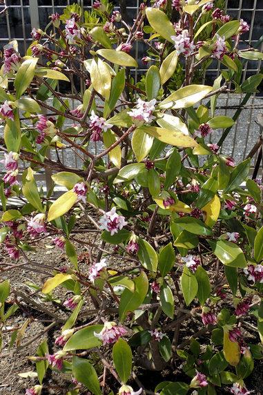 庭の沈丁花開花