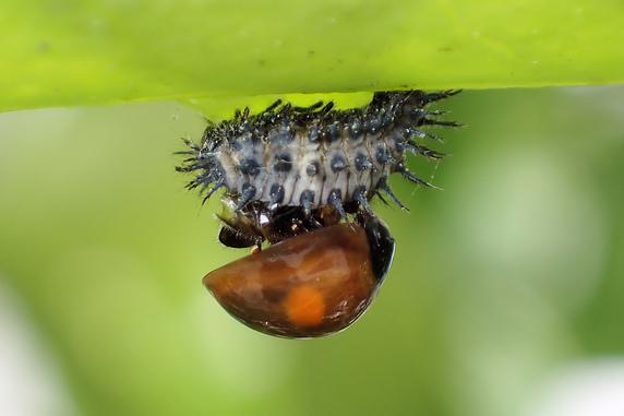 ヒメアカホシテントウの羽化