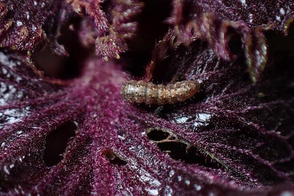 赤紫蘇に幼虫襲来