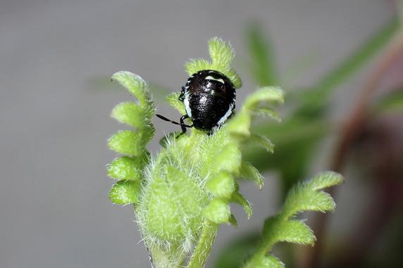 カメムシ幼虫が野原風花壇に
