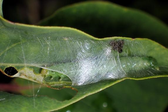 ライラックの葉を巻く幼虫