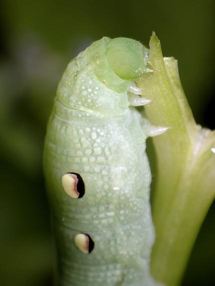 ベニスズメの幼虫現る