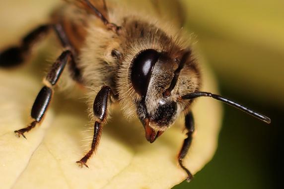 かわいいミツバチ
