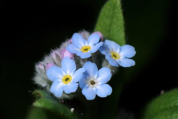 ブルーフラワー花壇で開花中