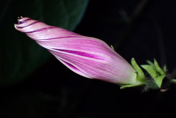 マルバアサガオ開花