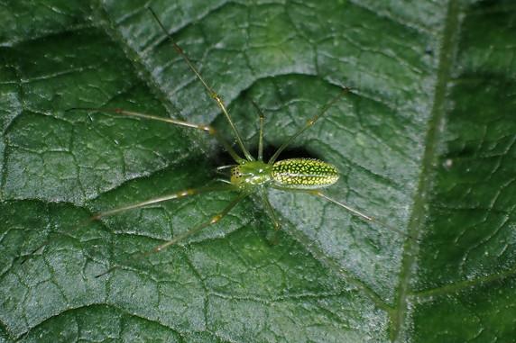 エゾアシナガグモはきれい