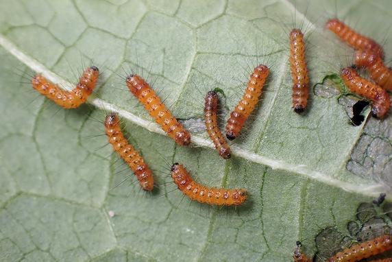 キバラケンモンの幼虫発見