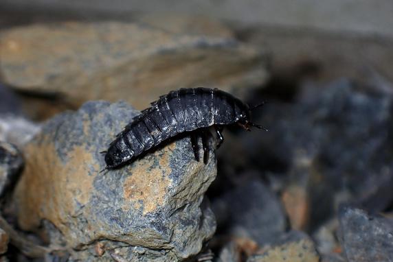哀愁のシデムシ幼虫