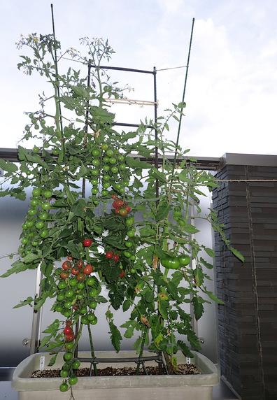 間もなく収穫ミニトマト