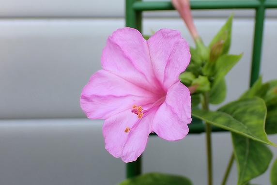 オシロイバナ開花