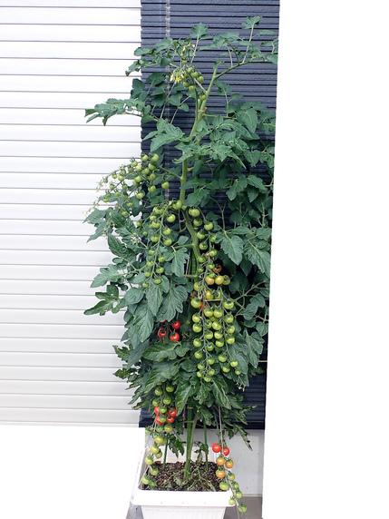 こっちのミニトマトも日々収穫中