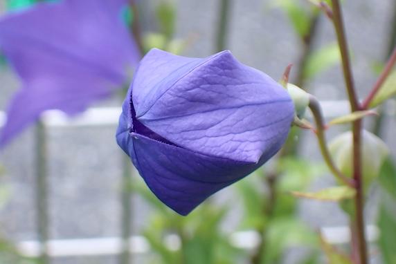 キキョウ開花
