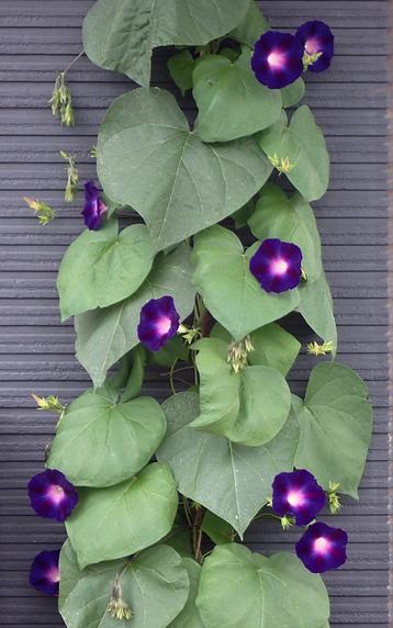 マルバアサガオの開花が続く