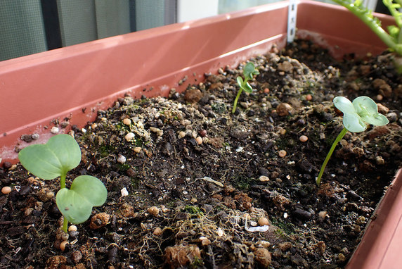 ナガメ用の葉大根が発芽