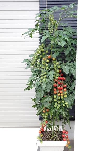 こっちのミニトマトも収穫