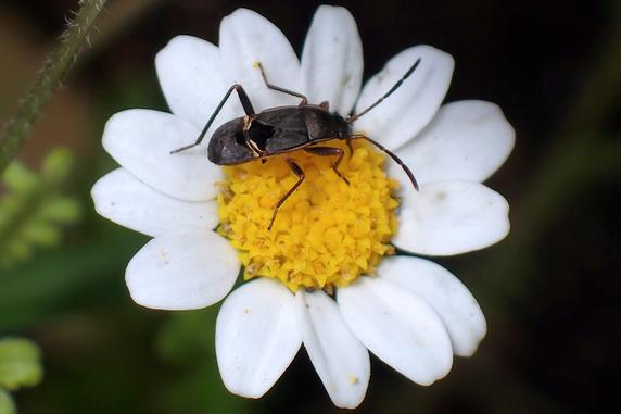 シロヘリナガカメムシの幼虫