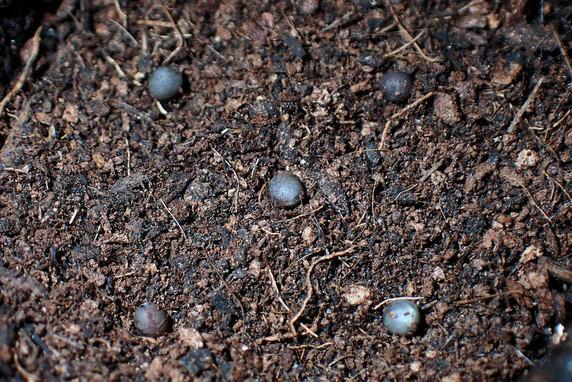 小カブの種蒔き