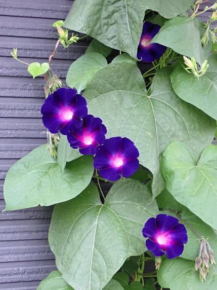 まだまだ咲くマルバアサガオ