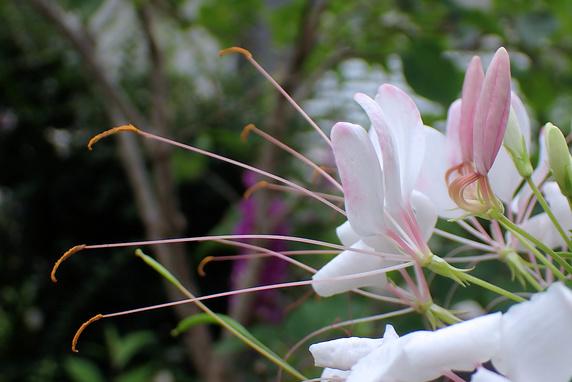 蝶のような花クレオメ