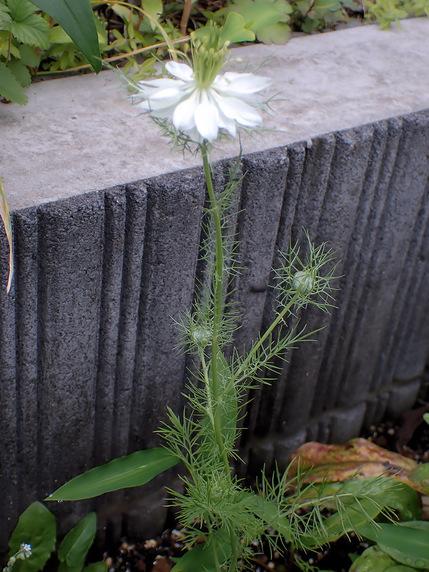 ニゲラという花