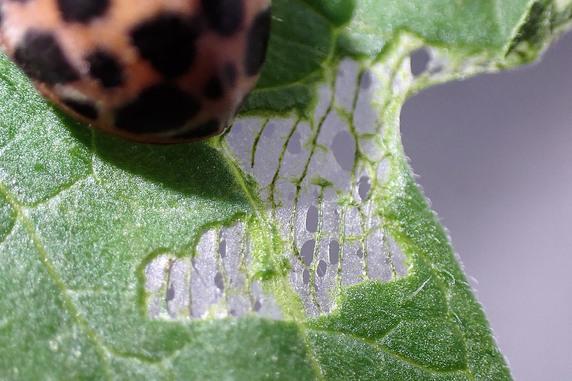 オオニジュウヤホシテントウの食痕