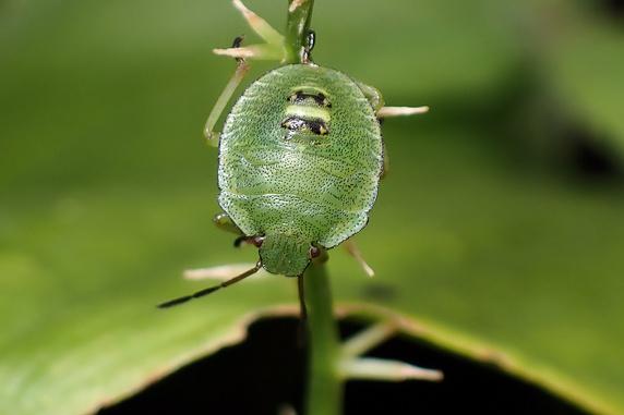大きくなったエゾアオカメムシの幼虫
