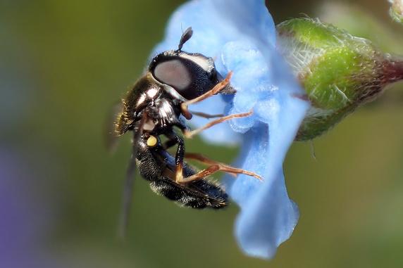 蜜を吸うキアシマメヒラタアブ