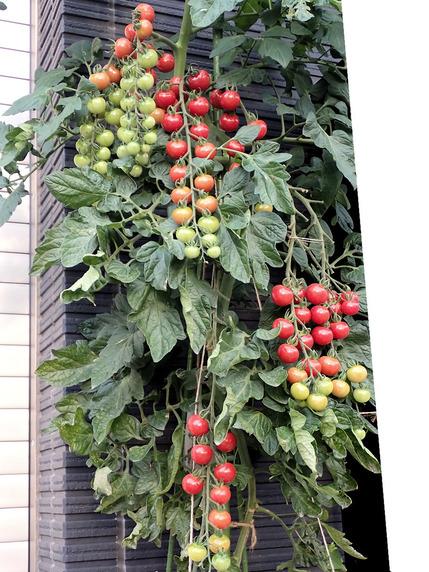 もう一つのミニトマトの収穫