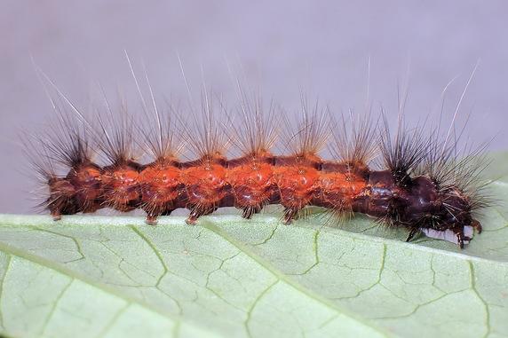 マルバアサガオに2種の幼虫