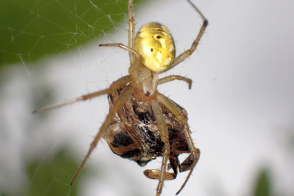ドヨウオニグモの捕食