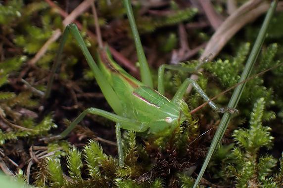 クビキリギリスの幼虫か?