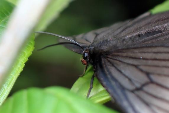 アゲハモドキは蛾