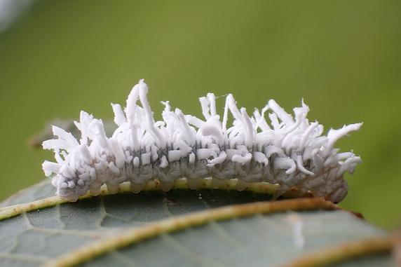 ババシロアシマルハバチの幼虫